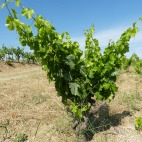 On this parched land, 80 year old vines still look young, but produce as little as 250-300g of fruit per season; 4-5 times less than neighbouring Montsant