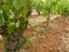 Old vine Xarel-lo